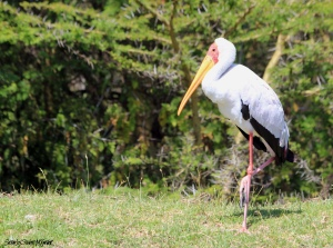 YellowBilledStork