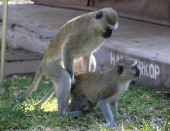 Vervet Money Mating