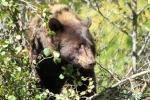 American Black Bear in Glacier National Park