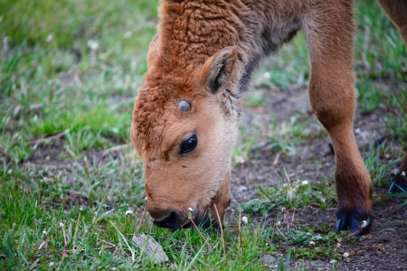A baby bison sniffs at a stick, just a daily part of figuring out the world.