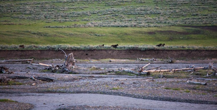 The Lamar pack trots along the Yellowstone river at dusk.